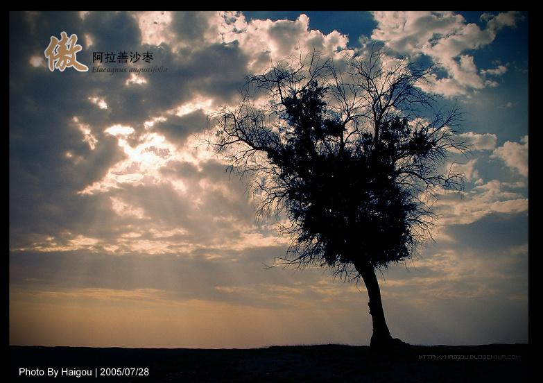 一棵倔强的沙枣树  A lonely Oleaster Tree